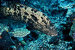 Milne Bay, Papua New Guinea; Brown-marbled Grouper (Epinephelus fuscoguttatus), to 100 cm (3 ¼ ft.), solitary, live in coastal, lagoon and outer reef slopes in 1-60 meters, found in Red Sea and E. Africa to Samoa, S.W. Japan to Australia , Copyright © Matthew Meier, matthewmeierphoto.com