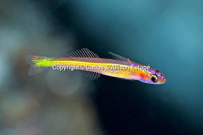 Vomerogobius flavus, Lemon goby, Bahamas
