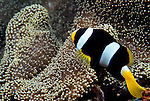 Milne Bay, Papua New Guinea; Clark's Anemonefish (Amphiprion clarkii), to 12 cm (5 in.), black to entirely orange, coloration is influenced by the host anemone species, live with 10 anemone species to 55 meters, found in Persian Gulf to Micronesia, New Caledonia and Fiji, S.W. Japan to N. Australia (rare) , Copyright © Matthew Meier, matthewmeierphoto.com All Rights Reserved