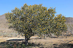 Mimosa tree, acacia dealbata, Cabo de Gata natural park, Almeria, Spain