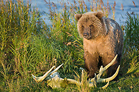 Brown bear cub and moose antler, Katmai National Park, Alaska.