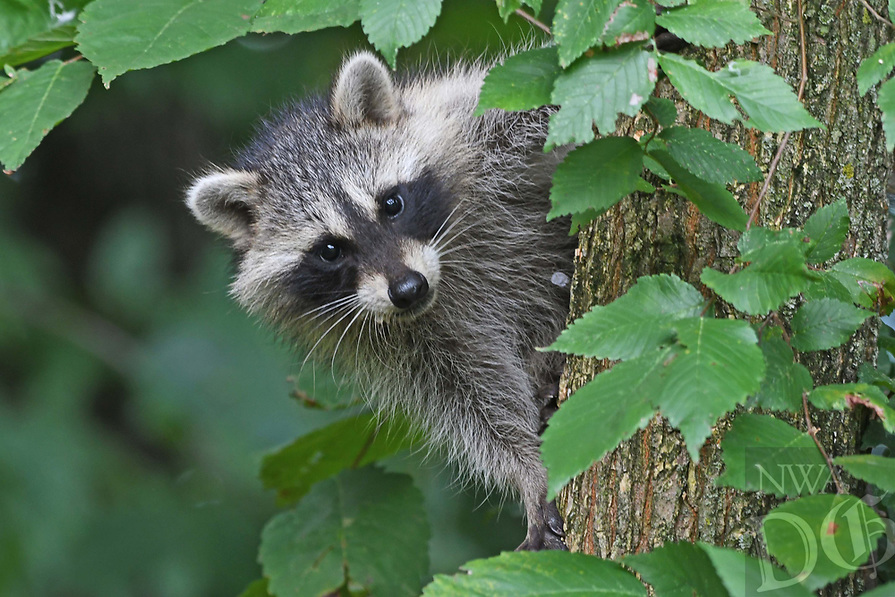 Courtesy photo/TERRY STANFILL<br /> A raccoon climbs a tree July 19 along the Eagle Watch Nature Trail near Arkansas 12 two miles west of Gentry.