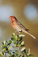 House Finch, Carpodacus mexicanus, male, Uvalde County, Hill Country, Texas, USA