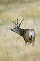 Mule Deer buck (Odocoileus hemionus) sniffing.  Western U.S., Fall.