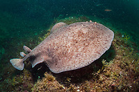marbled electric ray, Torpedo marmorata, Cap de Creus, Costa Brava, Spain, Mediterranean Sea, Atlantic Ocean
