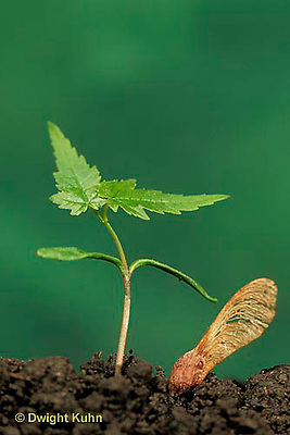 TT12-034b  Red Maple - seedling, seed coat - Acer rubrum