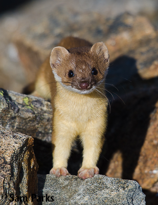 Long-tailed weasel. Rocky Mountain National Park, Colorado.