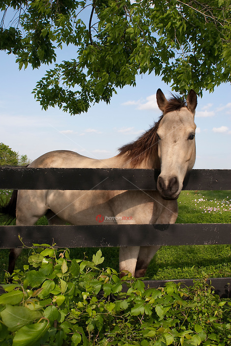 Beautiful gray horse stands overlooks a fence in a green pasture