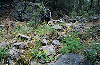 Longspur Columbine (Aquilegia longissima), Madera Canyon, Tucson, Arizona, USA,