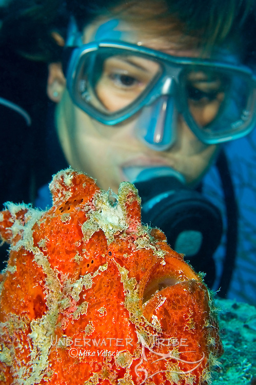 Diver watches a giant frogfish, Antennarius commersoni, Yap, Federated States of Micronesia, Pacific Ocean