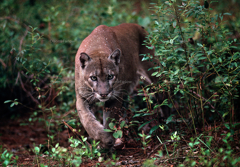 Florida panther, an endangered species. White Oak Conservation Center is one of the world's premiere wildlife breeding, research, and training facilities. The Center established in 1982 by philanthropist Howard Gilman, spans 600 acres and is surrounded by 6,800 acres of pine and hardwood forest and wetlands.