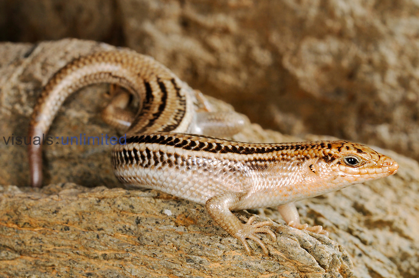 Skink (Trachylepis socotrana) endemic to Socotra, Yemen
