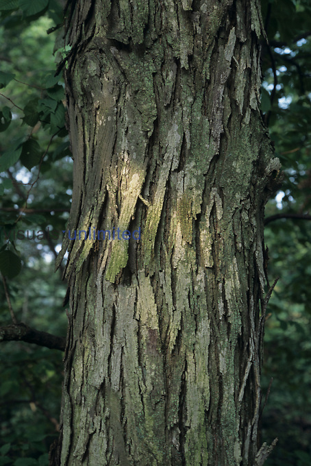 Shagbark Hickory bark (Carya ovata), North America...