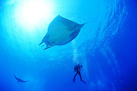 Mobula tarapacana, Kleiner Teufelsrochen,  Mobula mit Taucher, Manta,  Devil ray, Devil fish, big school of Manta rays with scuba diver, Azoren, Portugal, Atlantik, Atlantischer Ozean, Azores, Portugal, Atlantic Ocean