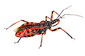 Assassin Bug {Rhynocoris iracundus}, showing long rostrum used to inject lethal saliva containing enzymes that liquify the insides of their prey, which are then sucked out. Photographed on a white background in a mobile field studio. Nordtirol, Austrian Alps, August.