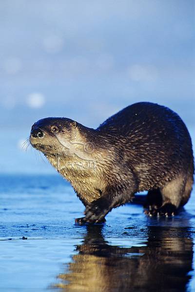 River otter on ice surrounding  a small patch of open water on small lake, Western U.S., November.