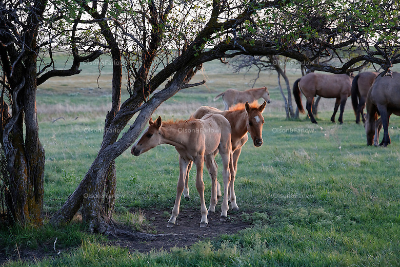 Young foals from the Gila herd explore a scratching post tree. The herd was rescued off land in Arizona.   Local ranchers recall the horses hiding in the Salt Cedar in 1904.  They have been tested genetically and are remnants of the horses from the Spanish conquistadors.<br /> Gila herd with the International Society for the Protection of Mustangs and Burros. Three herds are  cared for at the oldest wild horse organization founded in 1960.  Karen Sussman is the third president, . Wild Horse Annie, Velma Johnston, was the first. Annie, along with Helen Reilly worked together for the passage of the 1971 Wild Horses and Burros Act to protect horses from slaughter and inhumane treatment.