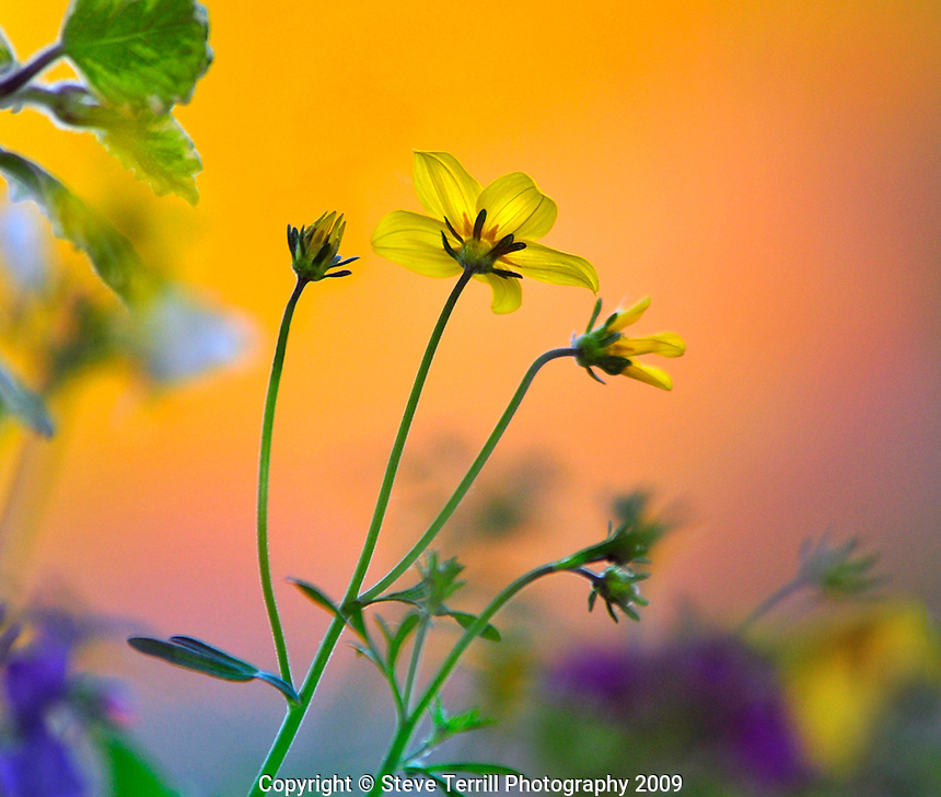 Bidens sunshine flowers ( long stem buttercups) in hanging basket in Portland, Oregon