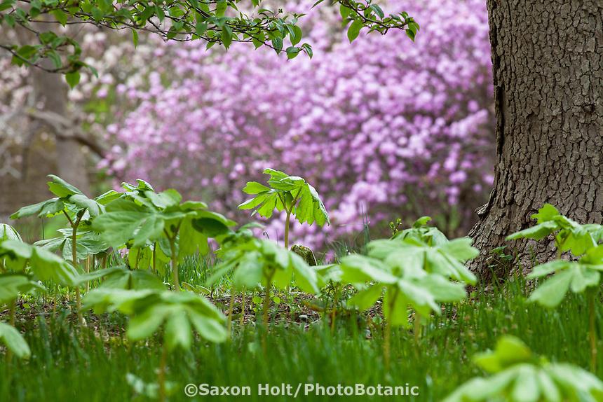 Podophyllum peltatum,<br /> mayapple groundcover, Winterthur Garden, Rhododendron &lsquo;Conewago&rsquo; in distance