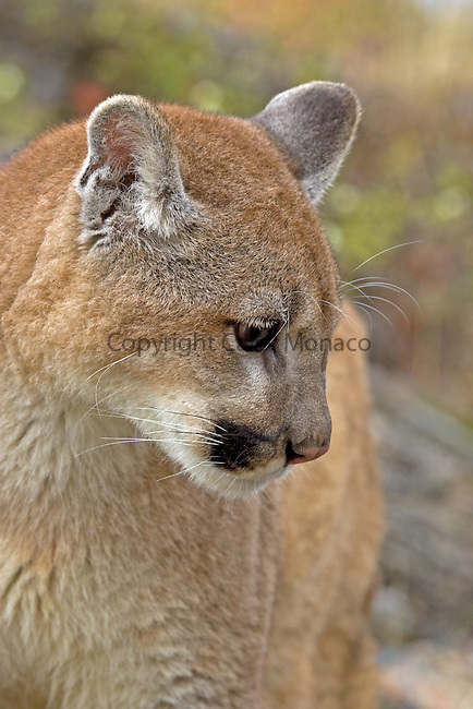 Close-up of a mountain lion,  Montana, United States