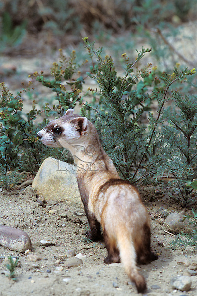 Black-footed ferret (Mustela nigripes), Eastern Montana.