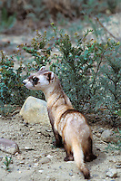 Black-footed ferret (Mustela nigripes), Eastern Montana.
