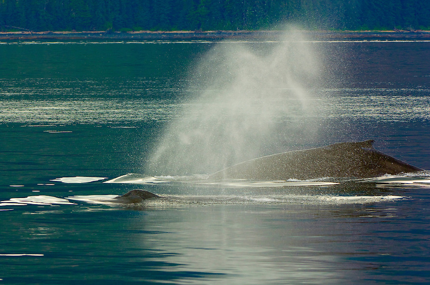 Humpback whales spouting in the waters off Pinta Point, Frederick Sound, Inside Passage, Southeast Alaska