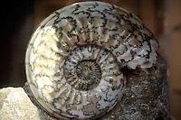 FOSSILS<br /> Ammonite<br /> Santa Fe, NM