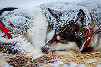 A Mike Williams dog sleeps during a snowfall at the Iditarod checkpoint on Friday, March 9th during the 2018 Iditarod Sled Dog Race -- Alaska<br /> <br /> Photo by Jeff Schultz/SchultzPhoto.com  (C) 2018  ALL RIGHTS RESERVED