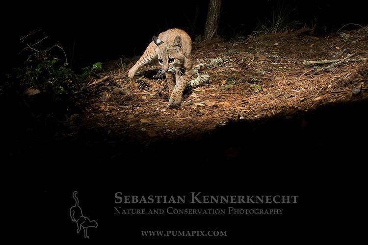 Bobcat (Lynx rufus californicus) juvenile walking at night, Aptos, Monterey Bay, California