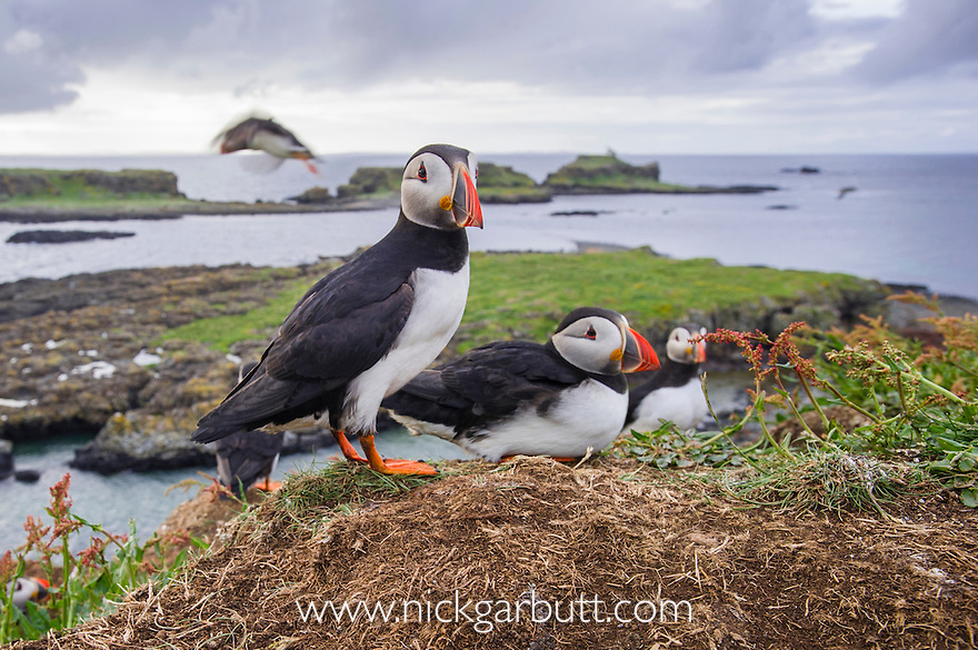 Atlantic Puffins (Fratercula arctica) gathering around burrows on cliff top. Isle of Lunga, Treshnish Isles, Isle of Mull, Scotland.