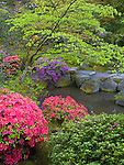Seattle, WA<br /> Evergreen azaleas in blossom in the Japanese garden in the Washington Park Arboretum