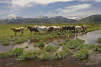 Cows grazing in a field near Bridgeport, California.