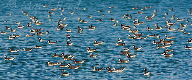 Wilson's Phalaropes (Phalaropus tricolor), flock swimming/foraging, Mono Lake, California, USA