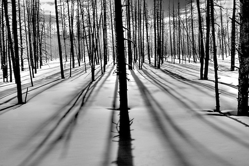 Silicified trees provide a silhouette against the winter sun at Yellowstone National Park,Wyoming