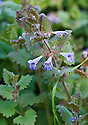 Ground ivy (Glechoma hederacea), Esher Common, Surrey, early June