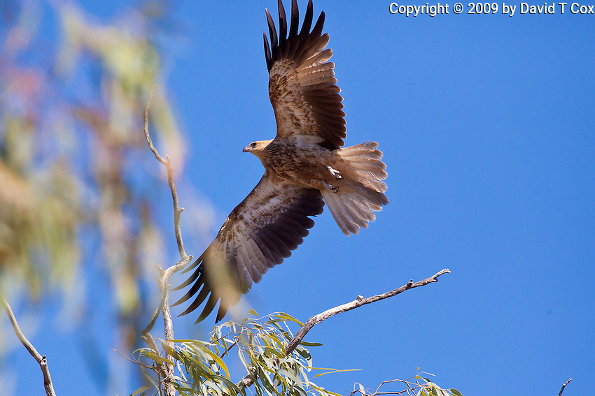 Whistling Kite, Georgetown - Normanton Road, Queensland, Australia