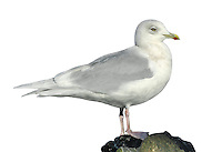 Iceland Gull - Larus glaucoides. L 52-60cm. Similar to Glaucous but smaller, less bulky and longer-winged. Has a rounded head and rather small bill. Legs are pink at all times. Sexes are similar. Adult in winter has pale grey back and upperwings with white primaries and white trailing edge to wings. Plumage is otherwise mainly white with dark streaks on head and neck. Bill is yellowish with an orange spot. Eye is yellowish with red orbital ring. In summer, similar but without streaks. Juvenile and 1st winter are pale grey-buff with white primaries. Bill is dark with dull pink base. Adult plumage acquired over 3 years. 2nd winter is similar but paler. 3rd winter is paler still. Voice Utters a kyaoo call and anxious ga-ka-ka. Status Very scarce non-breeding visitor, mainly to coasts in late winter.