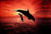 A pair of Atlantic Bottlenose Dolphin, Tursiops truncatus, leap into a Caribbean sunset,  Roatan, Honduras. mammal Atlantic  Caribbean Reef Roatan Honduras ocean endangered protected horizontal Cetacea Odontoceti Delphinidae Flipper leap sunset captive trained