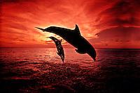 A pair of Atlantic Bottlenose Dolphin, Tursiops truncatus, leap into a Caribbean sunset,  Roatan, Honduras. mammal Atlantic  Caribbean Reef Roatan Honduras ocean endangered protected horizontal Cetacea Odontoceti Delphinidae Flipper leap sunset captive trained