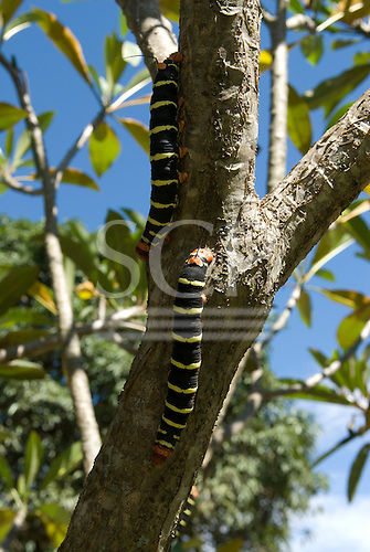 Brasilia, Brazil. Tetrio sphinx moth or Frangipani Hawkmoth (Pseudosphinx tetrio) caterpillar.