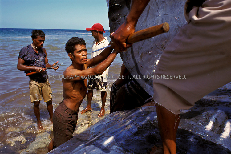 Lamalera, Indonesia..Whalers carve a piece of blubber from the side of as sperm whale on the beach at Lamalera...Photograph by Stuart Isett.©2003 Stuart Isett