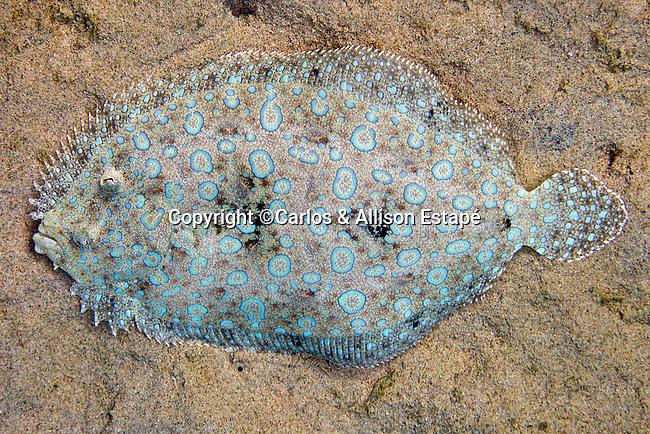 Bothus lunatus, Peacock flounder, Bonaire