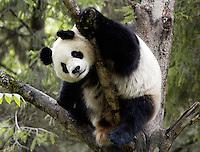 Giant Panda (Ailuropoda melanoleuca)  in a tree. Wolong Panda Reserve, Sichuan Province, China.