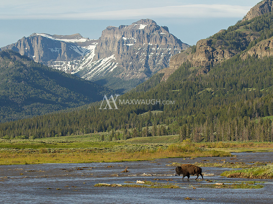 A bull bison crosses Soda Butte Creek.