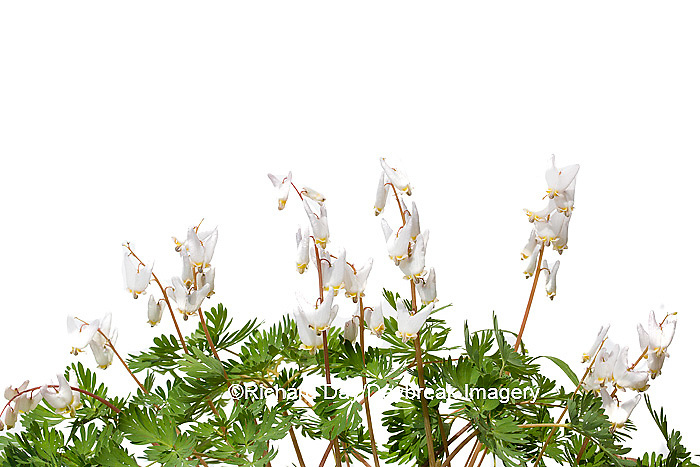 30099-00101 Dutchman's Breeches (Dicentra cucullaria) with white background, Marion Co., IL