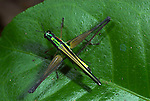 Airplane Grasshopper, Eumastricidae sp., Manu, Peru, on leaf, jungle,. .South America....