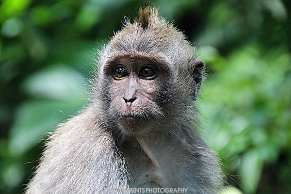 Hundreds of macaques live in the Sacred Monkey Forest in Ubud, Bali