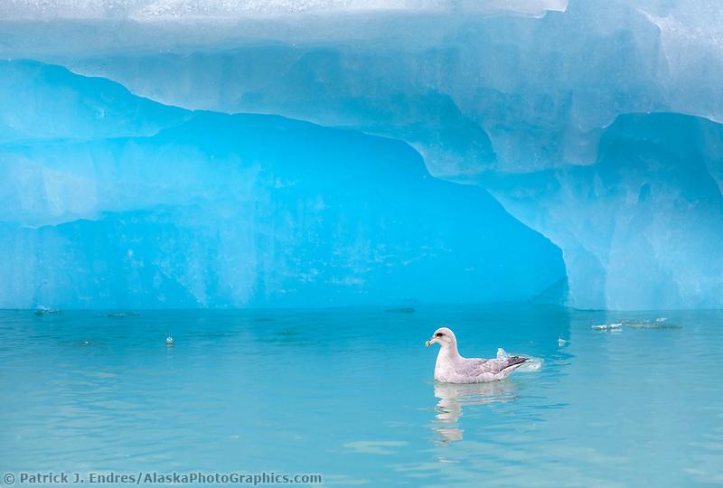 Northen fulmar swims in the blue waters of Lilliehookfjorden, Svalbard.