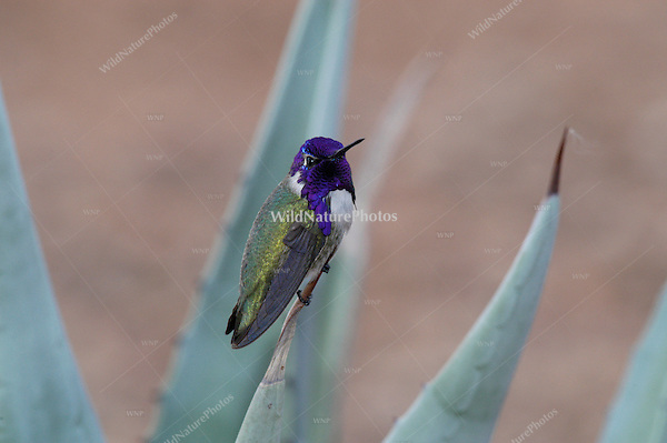 A male Costa's Hummingbird, Calypte costae, perched on an Agave; Sonoran Desert, Arizona